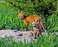 Red Fox Kits Royalty Free Stock Images