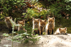 Red Fox Baby Kits. Six red fox kits line up at the entrance to their den, in Algonquin Provincial Park, Ontario - Canada Stock Images