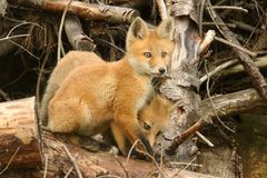 Red Fox Kits Stock Photo