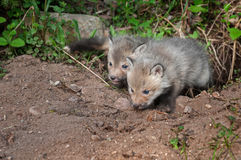 Red Fox Kits (Vulpes vulpes) Crawl out of Den Royalty Free Stock Photos