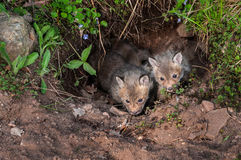 Red Fox Kits (Vulpes vulpes) Peek out of Underground Den Royalty Free Stock Photography