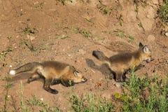 Red Fox Kits (Vulpes vulpes) Play Chase Royalty Free Stock Image