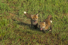 Red Fox Kits (Vulpes vulpes) Run Wildly Royalty Free Stock Image
