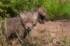 Red Fox Kits (Vulpes vulpes) Stand at Densite Royalty Free Stock Images