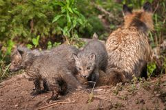 Red Fox Kits Vulpes vulpes With Vixen Back to Viewer. Captive animals Royalty Free Stock Photo