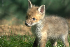 Red fox kitten (vulpes vulpes ) stock photography