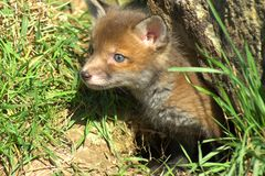 Red fox kitten (vulpes vulpes) royalty free stock photo