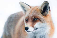 Red fox (lat. vulpes vulpes) Royalty Free Stock Images