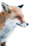 Red fox (lat. vulpes vulpes) Stock Photos