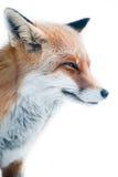 Red fox (lat. vulpes vulpes) Stock Photos