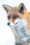 Red fox (lat. vulpes vulpes). In winter, captive Royalty Free Stock Photos
