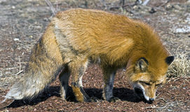 Red fox 1 Royalty Free Stock Image