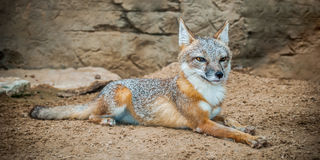 Red Fox. A Red fox laying in the dirt on a hot summer day Stock Photo