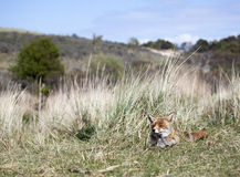 Red fox laying in the dunes Royalty Free Stock Photography
