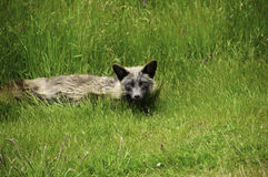 Red Fox Laying In The Grass Stock Photos