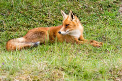 Red Fox. Red Fox laying in grass Stock Photos