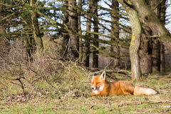 Red Fox. Red fox laying on grass in the bushes Stock Photos