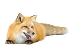 Red fox laying looking aside Stock Photo