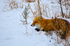 Red Fox Laying in the Snow Stock Photography