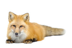 Red fox laying towards to cam Royalty Free Stock Photography