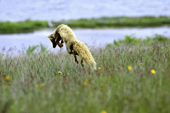 A Red Fox Leaping Royalty Free Stock Photography