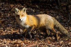 Red Fox in the Leaves. Red and white fuzzy Fox in a thatch of brown yellow and orange Leaves emerging from the forrest Royalty Free Stock Photography