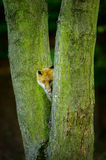 Red fox lick it hidden between two tree trunks. Red fox from front view lick itself while hidden between two tree trunks Royalty Free Stock Image