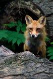 Red fox log Royalty Free Stock Photos