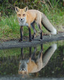 Red Fox Looking Stock Images