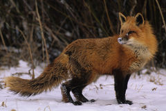 Red Fox Looking Back. Red fox in winter looking back over its shoulder Royalty Free Stock Photography