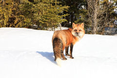 Red fox looking back Royalty Free Stock Photos