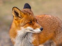 Red fox looking backward Stock Photography