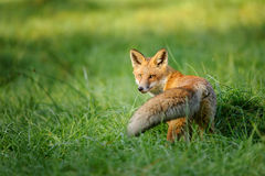 Red fox looking behind in green grass Royalty Free Stock Photos