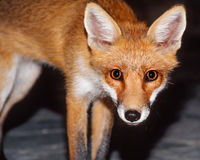 Red fox looking at the camera Royalty Free Stock Photography