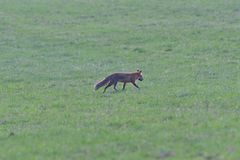 Red fox looking and hunting on a meadow for fieldmouse. Wild red fox walking on the meadow looking for food stock images