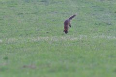Red fox looking and hunting on a meadow for fieldmouse. Wild red fox walking on the meadow looking for food stock image