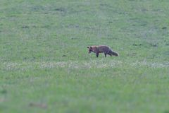Red fox looking and hunting on a meadow for fieldmouse. Wild red fox walking on the meadow looking for food royalty free stock image
