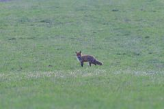 Red fox looking and hunting on a meadow for fieldmouse royalty free stock photo
