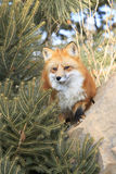 Red fox looking out for food Royalty Free Stock Photo