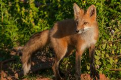 Red Fox. Looking out to the left. Cavendish, Prince Edward Island, Canada royalty free stock image