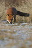 Red fox looking sly Royalty Free Stock Photo