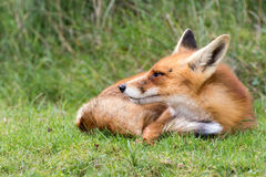 Red Fox. Red Fox looking to the left resting on grass Stock Image