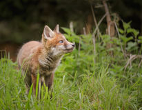 Red fox, looking up Royalty Free Stock Photo