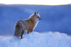 Red Fox. A red fox looks across the snow in Grand Teton National Park, Wyoming Royalty Free Stock Image