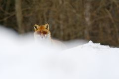 Red fox. Looks into the camera through snow Stock Photography