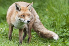 Red fox. Fox: Loved and hated in the UK in equal measure Stock Images