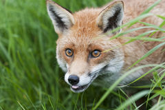 Red fox. Fox: Loved and hated in the UK in equal measure royalty free stock photo