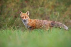 Red fox from low angle standing on a meadow in autumn royalty free stock photos