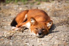 Red Fox lying Stock Photography