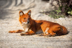 Red Fox lying on sand Royalty Free Stock Photography